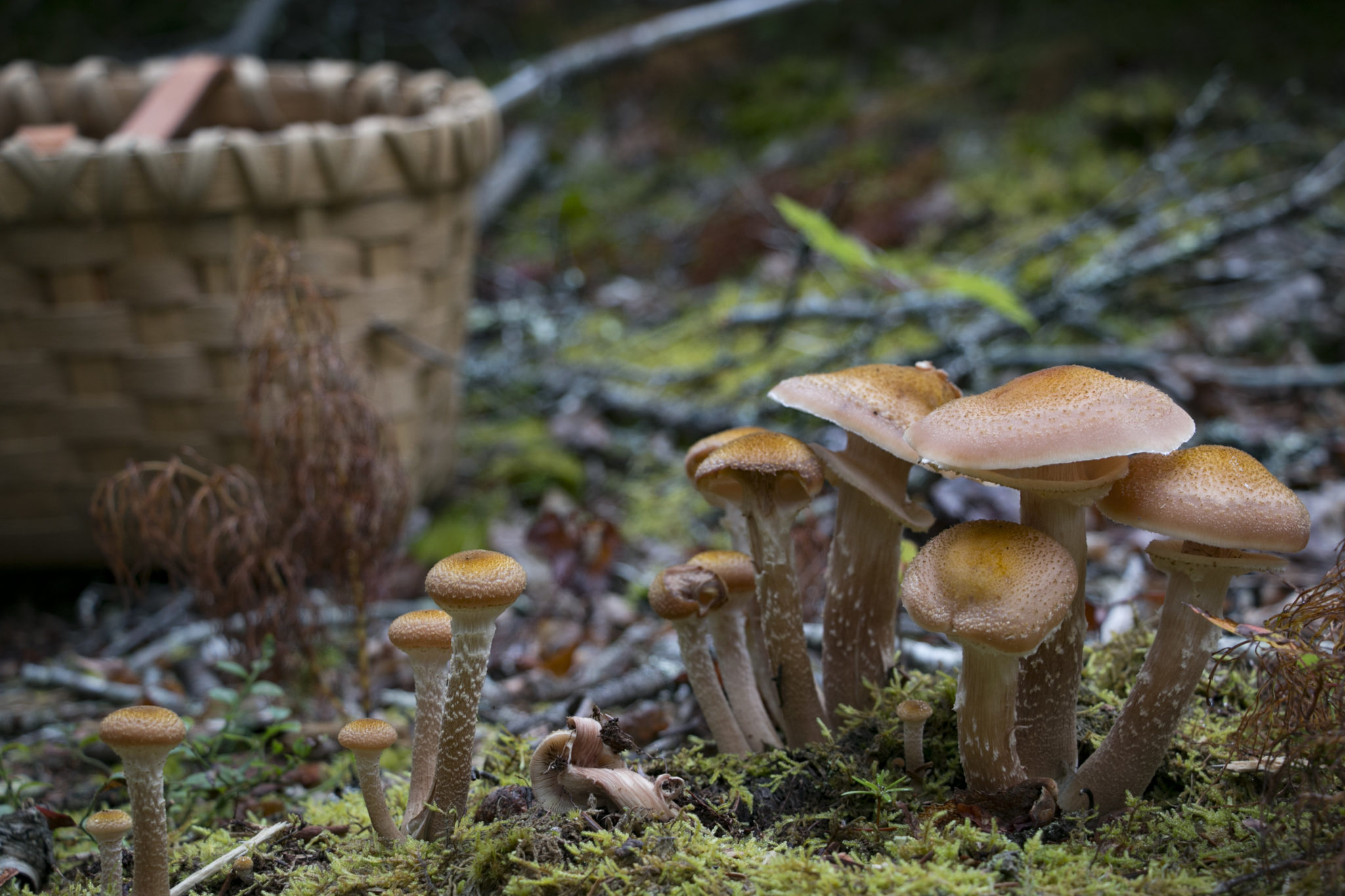 Honey mushrooms were abundant in the woods of Brooklin, Maine, on a trip out mushroom foraging with expert David Porter. |Aislinn Sarnacki
