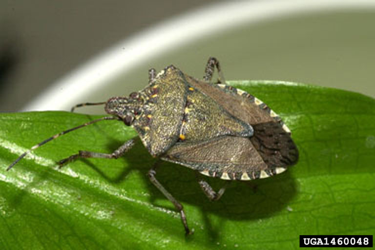 What are stink bugs and what do they do?