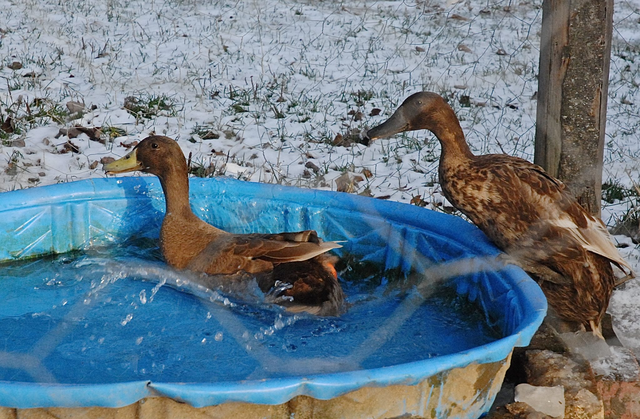 How to pick ducks for your homestead