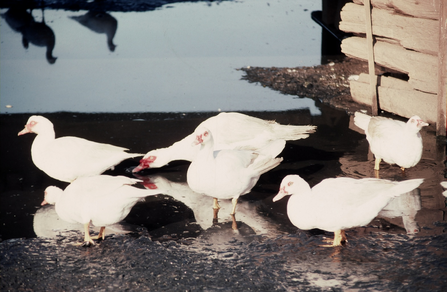 What is a Muscovy: The hissing duck you might want to add to
