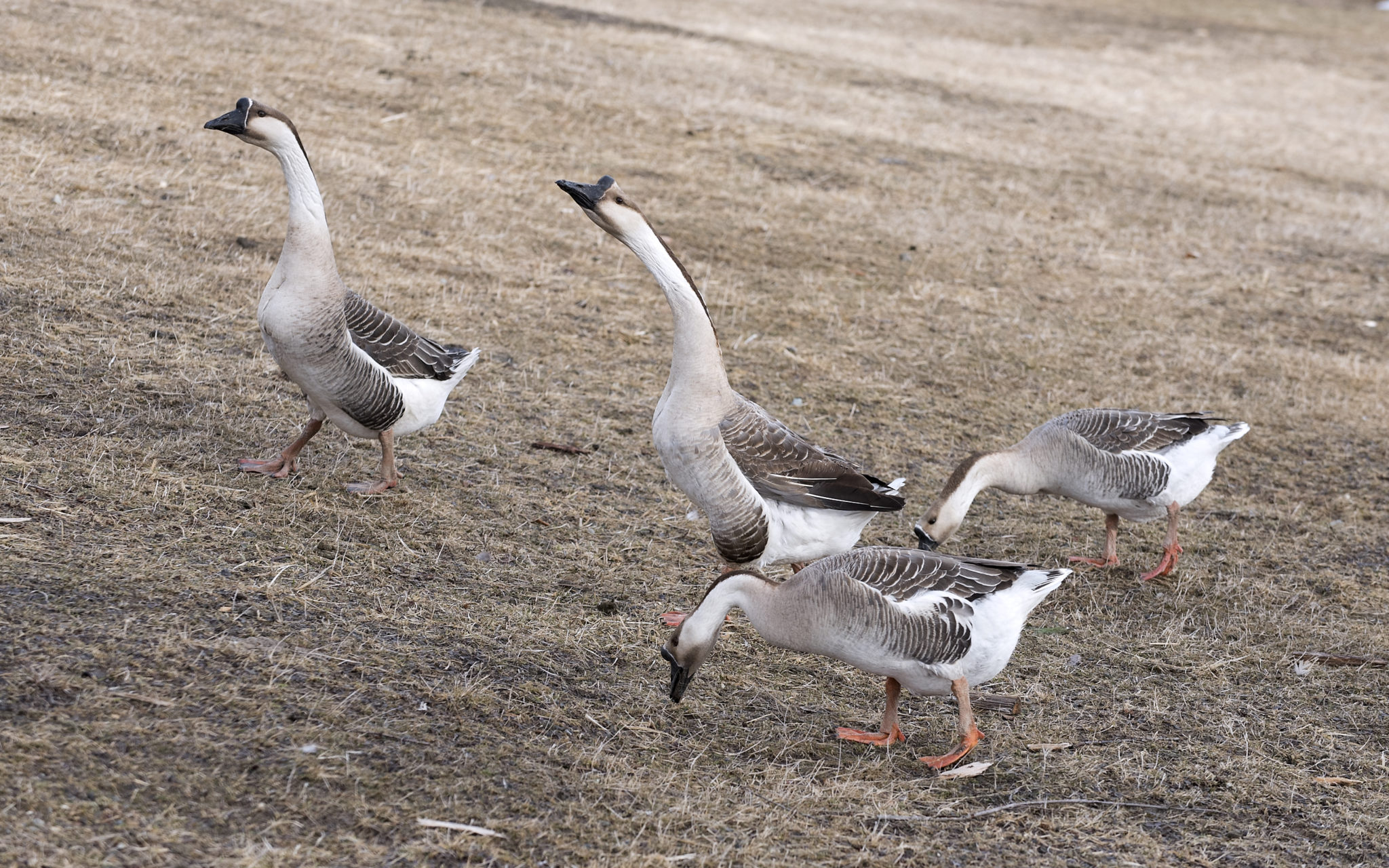 Raising geese on your homestead: A primer