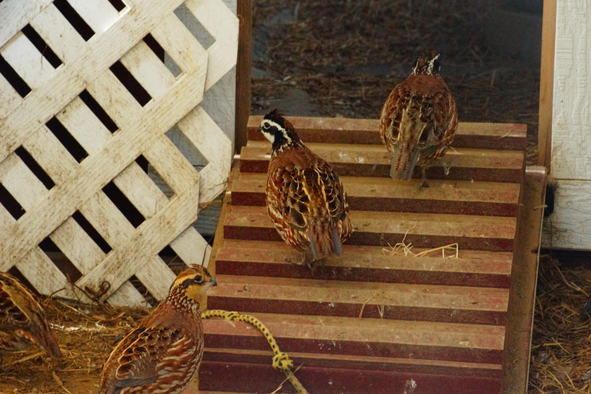 What you should know about raising quail | Hello Homestead