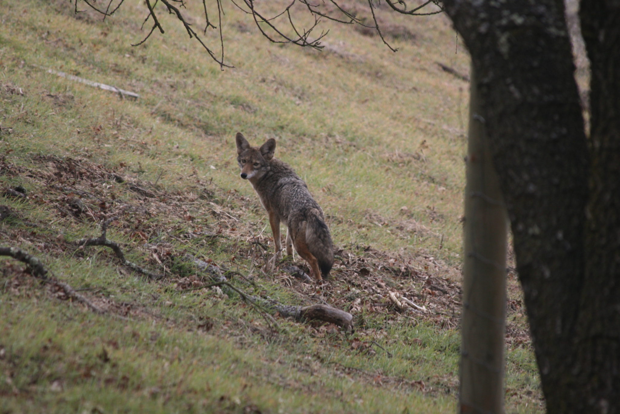 How To Humanely Keep Coyotes Away From Your Homestead