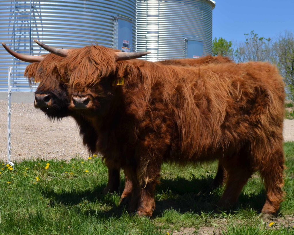 What are heritage breeds, and why you might want one on your homestead