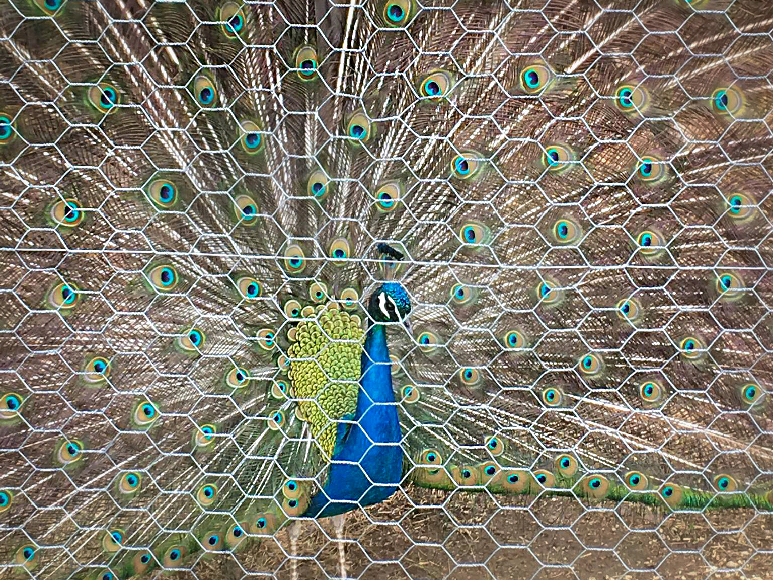 Should You Add Peacocks To Your Homestead Hello Homestead