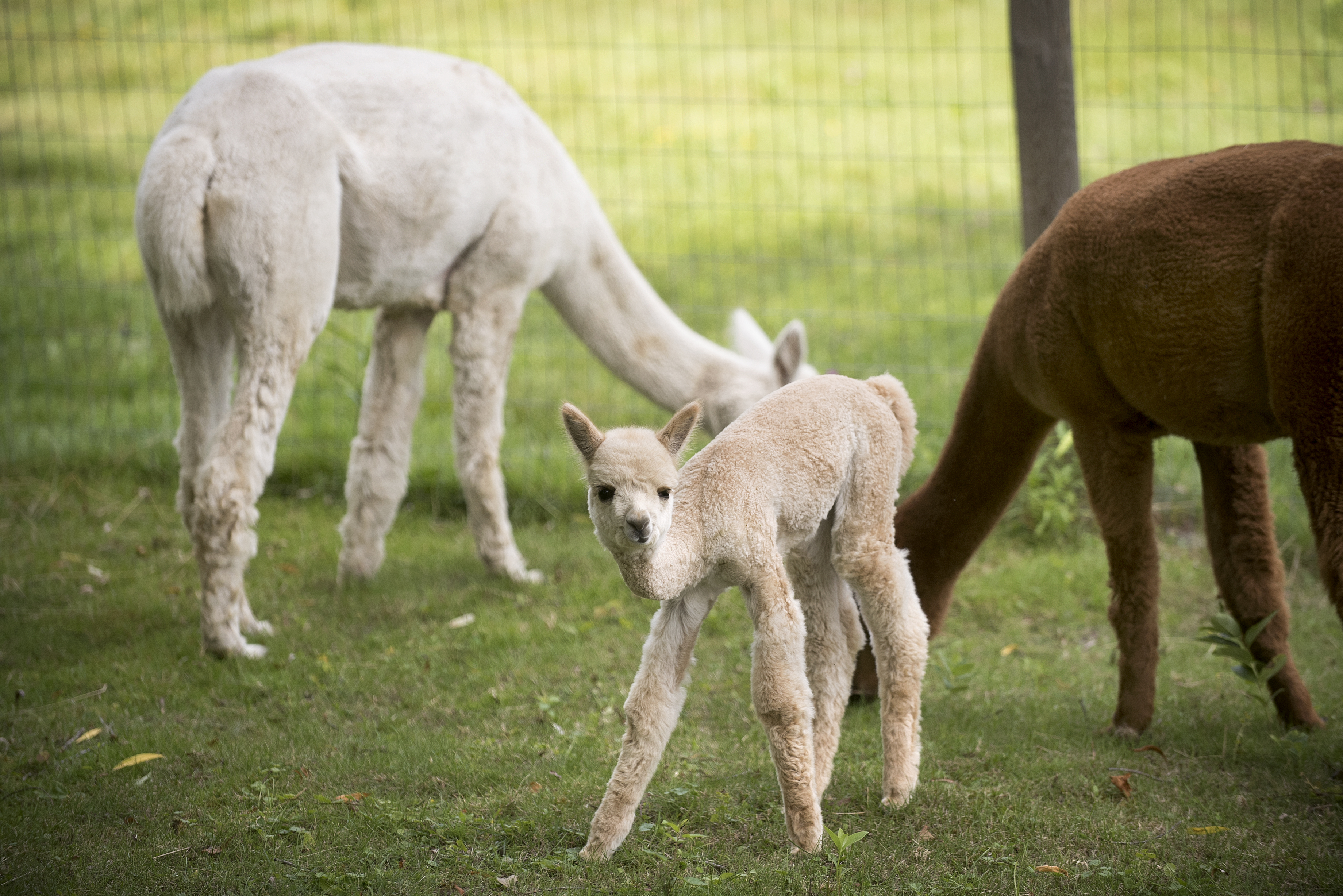 What llamas and alpacas can do for your homestead | Hello