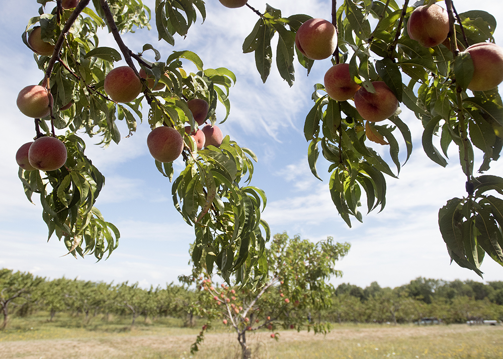 How to pick a fruit tree for your yard