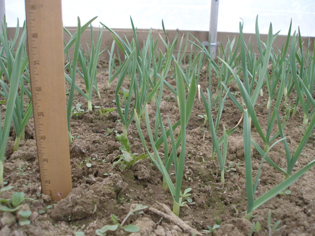How to plant garlic in the spring