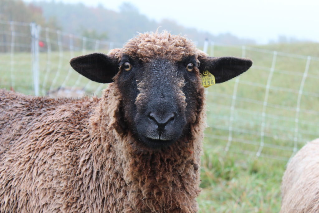 Should you raise sheep on your homestead?