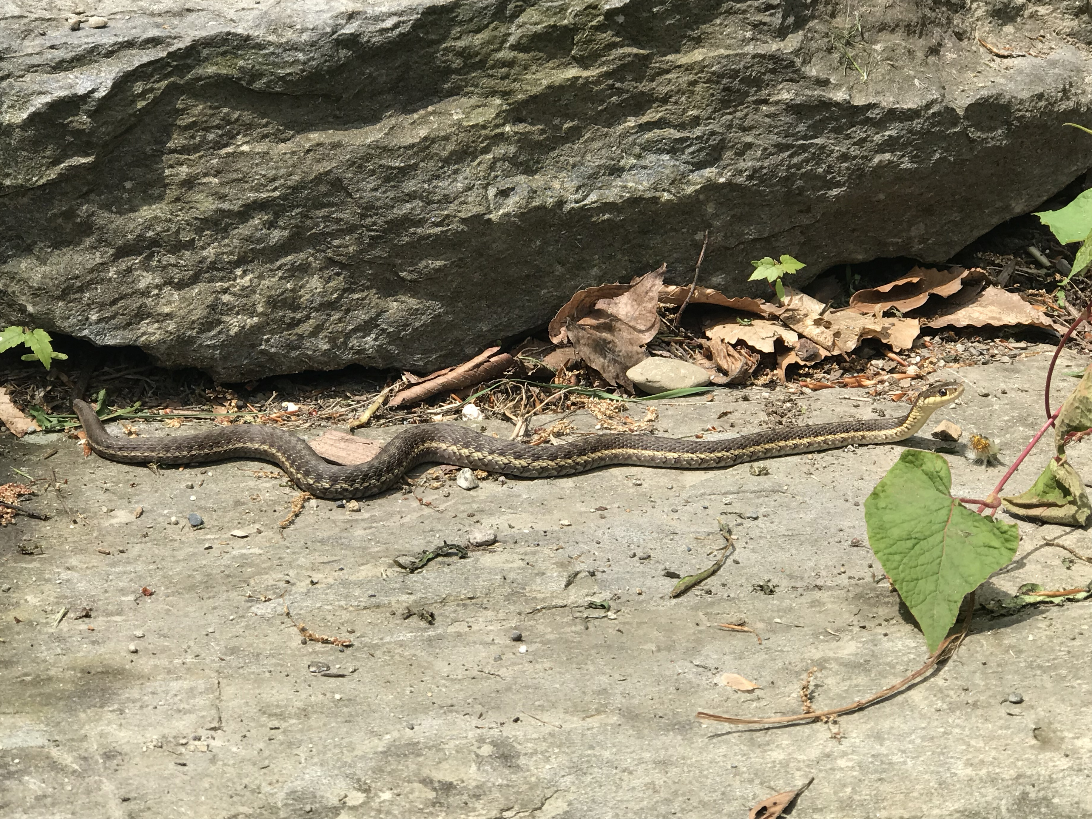 Why garter snakes and other garden snakes are a good sign