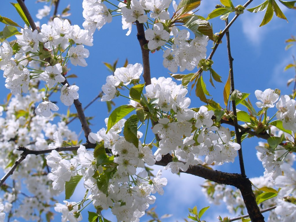 How To Grow And Care For Cherry Trees Hello Homestead