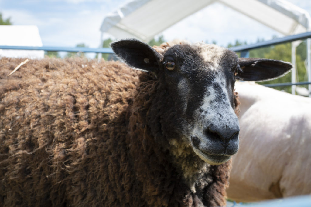 Can you be your own sheep shearer? | Hello Homestead