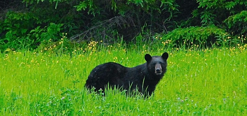 A black bear stands in a field of green grass and clover.