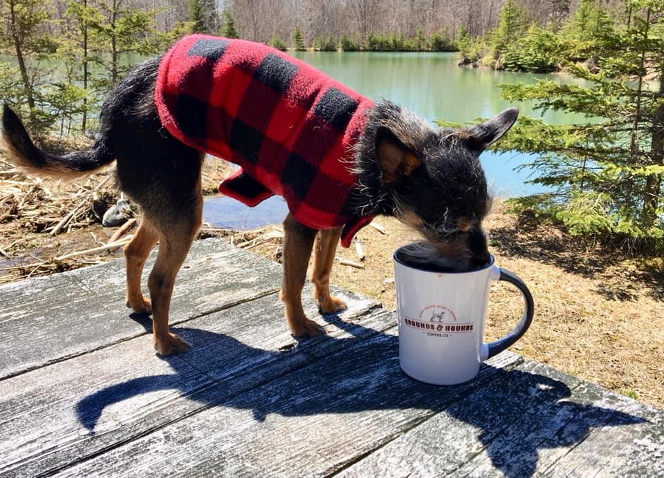 A small dog wearing a red and black plaid jacket sniffs at the contents of a coffee mug.