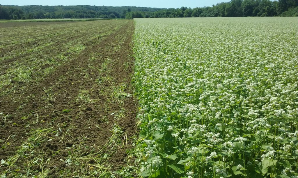 This photo shows buckwheat and recently tilled buckwheat side by side in a field. Buckwheat is often used as a cover crop -- but what is a cover crop, anyway?