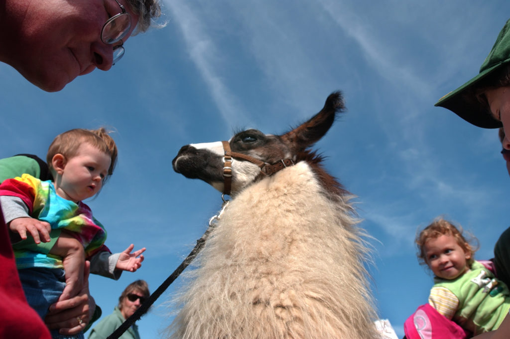 A young child reaches out to pet a llama at the Common Ground County Fair in Unity, Maine.
