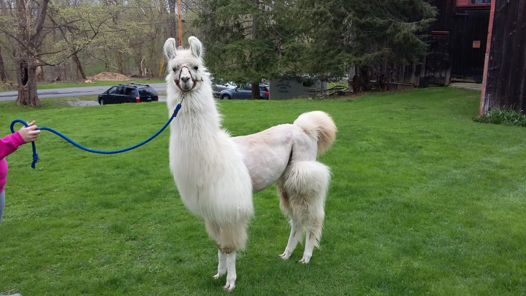 A llama at Hemstreet Farm in East Aurora, New York.