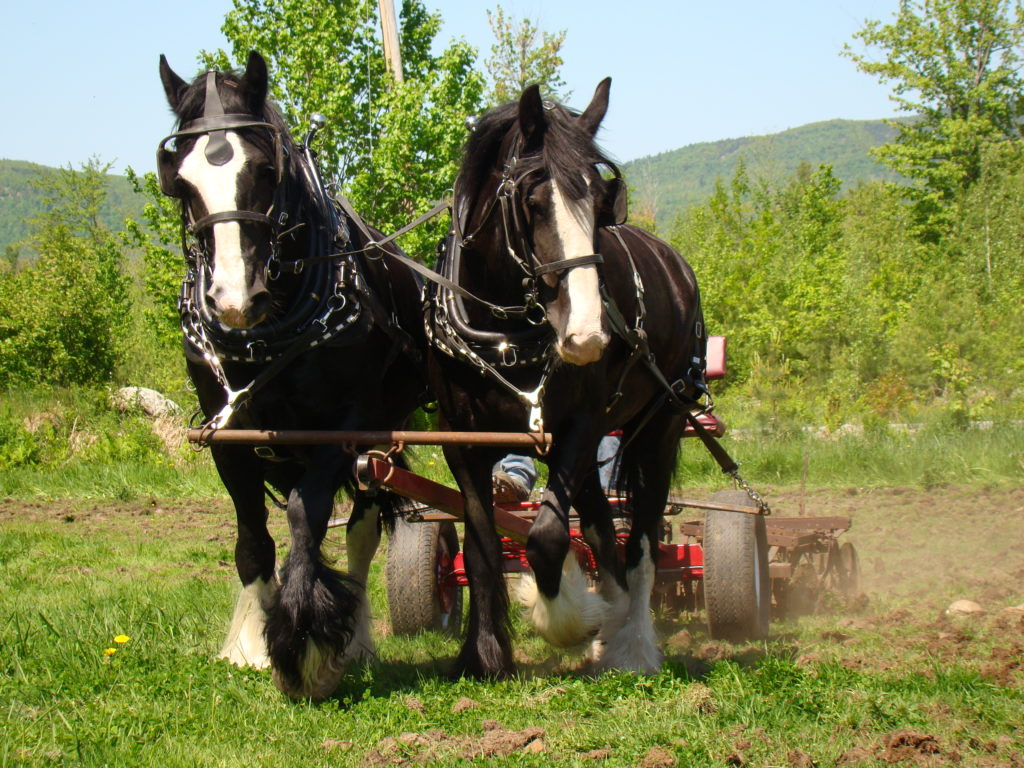 Two draft horses pull a farm harrower over a grassy field.