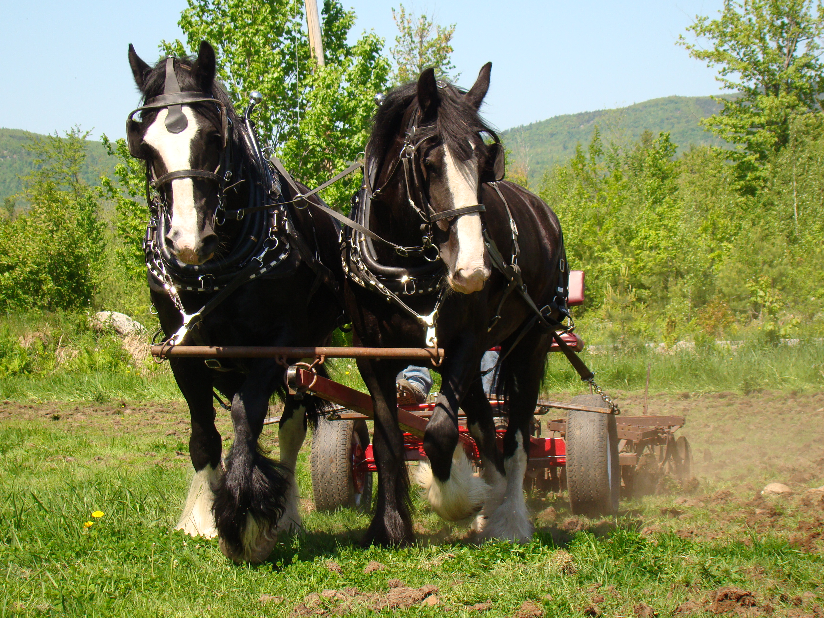 Choosing A Draft Horse Means Matching The Horse To The Job Hello Homestead