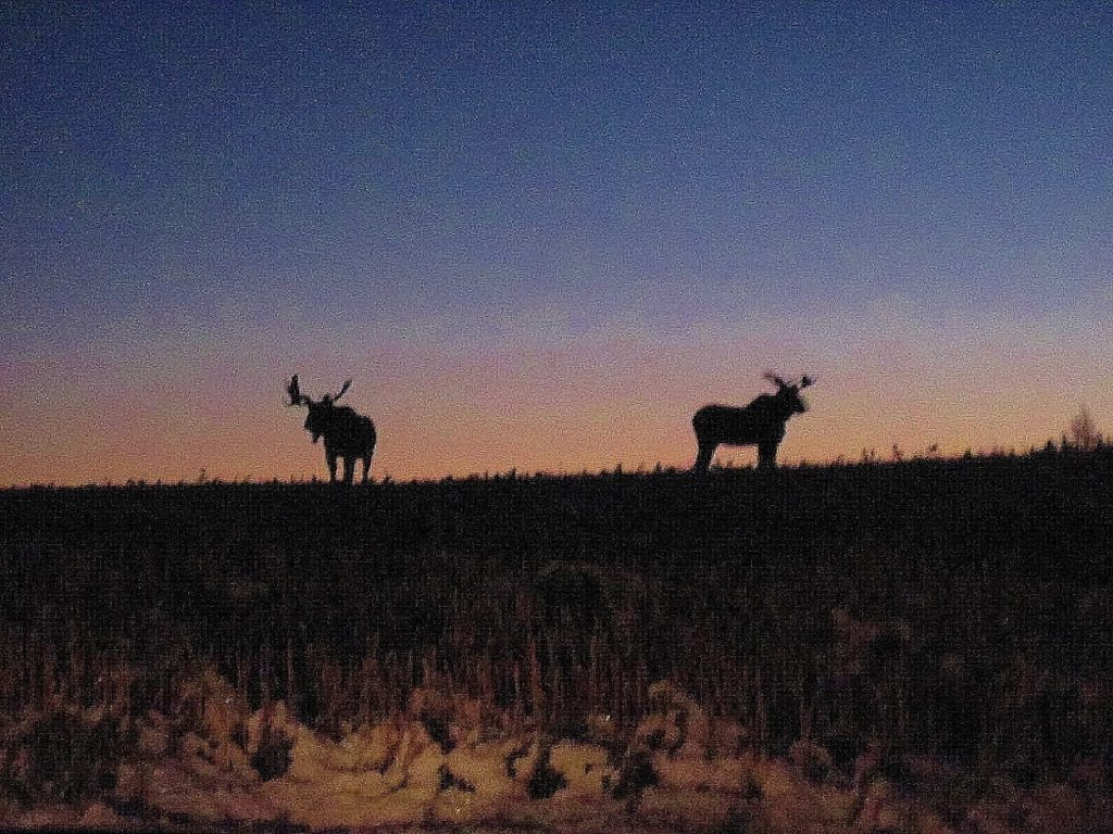Two bull moose profiled agains a sunrise standing on a field.