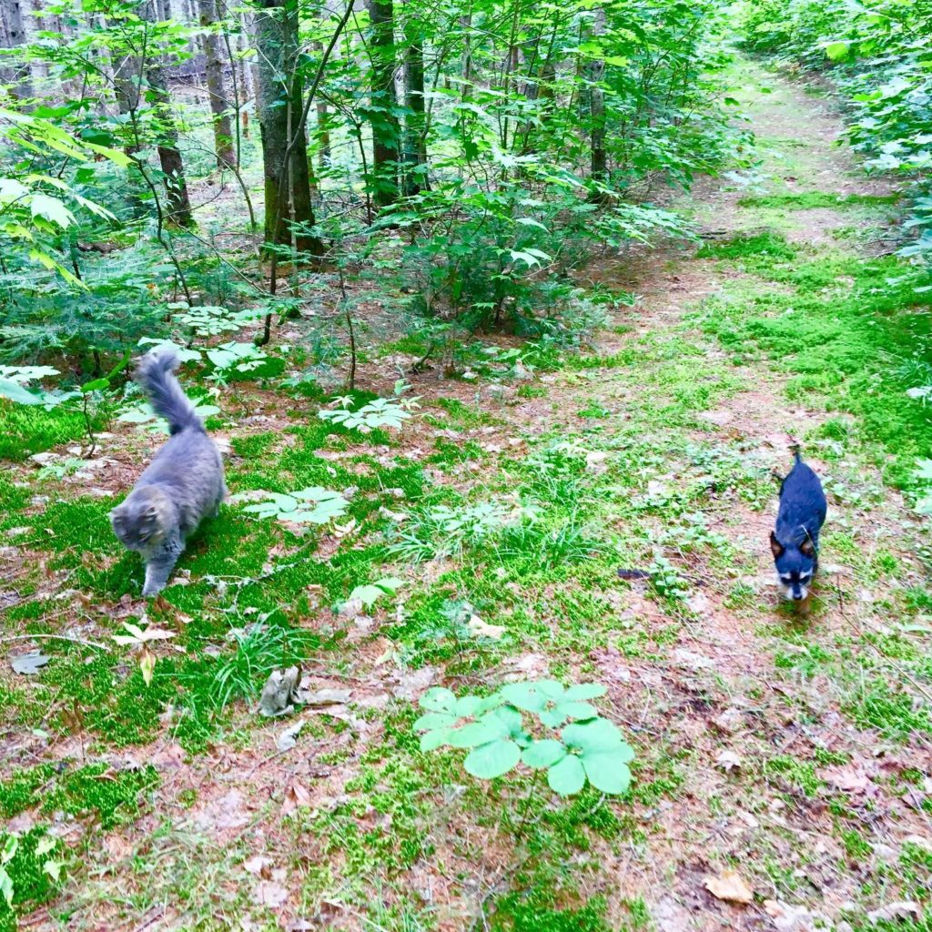 A fluffy grey cat and a tiny black dog walk on a trail in the woods.
