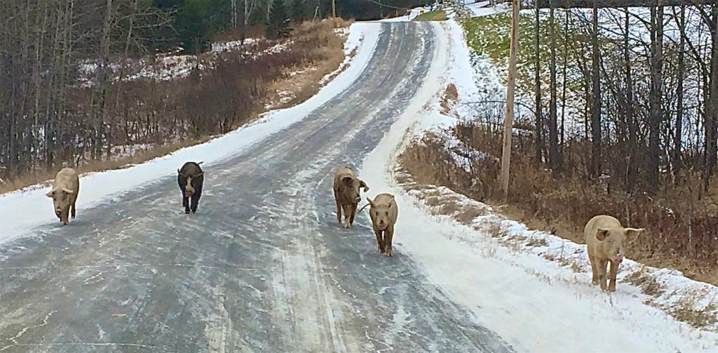 A herd of five large pigs walks up a road toward the camera.