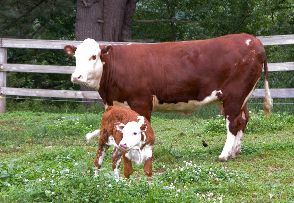 A mother cow with a calf standing inside fenced-in pasture.