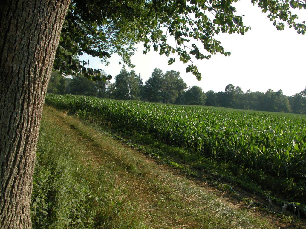 A field of mature corn.
