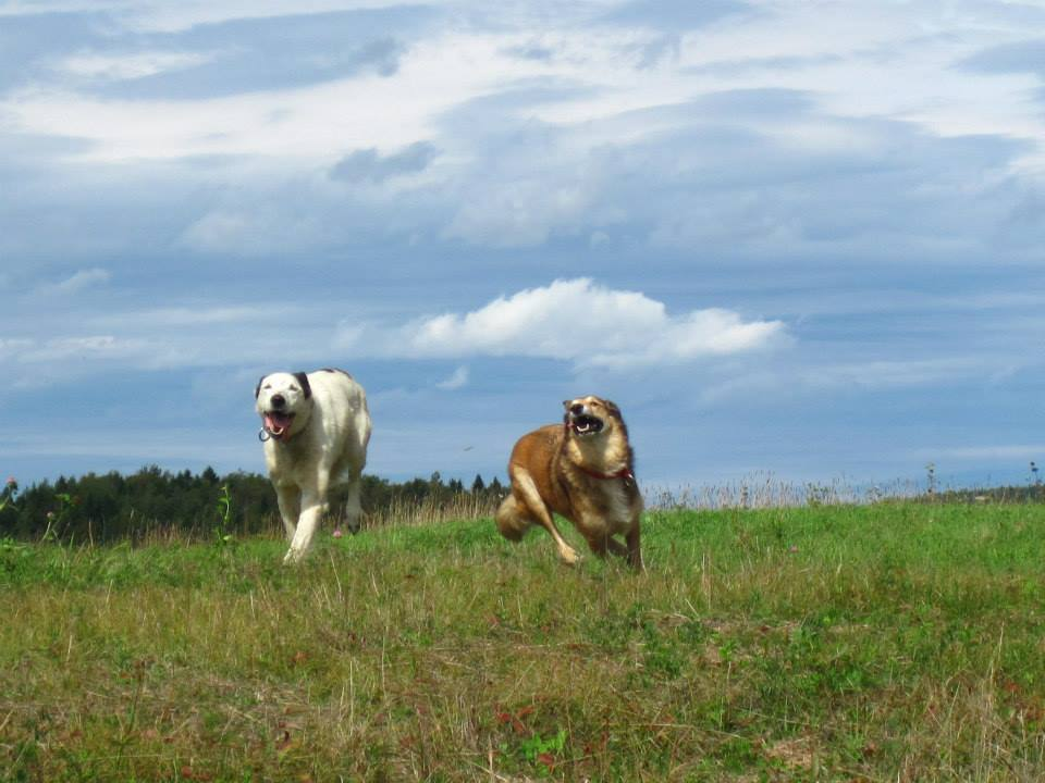 A white dog and a brown dog run happily in a large field.