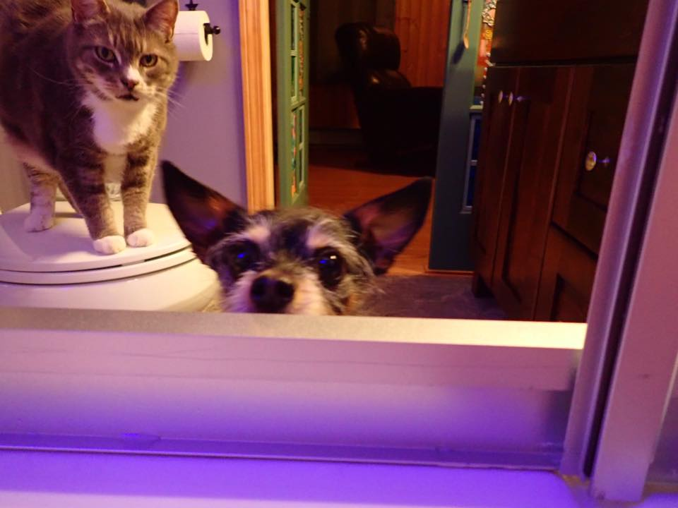A grey and white cat standing on top of a toilet, small black dog peeking over the side of a bathtub.