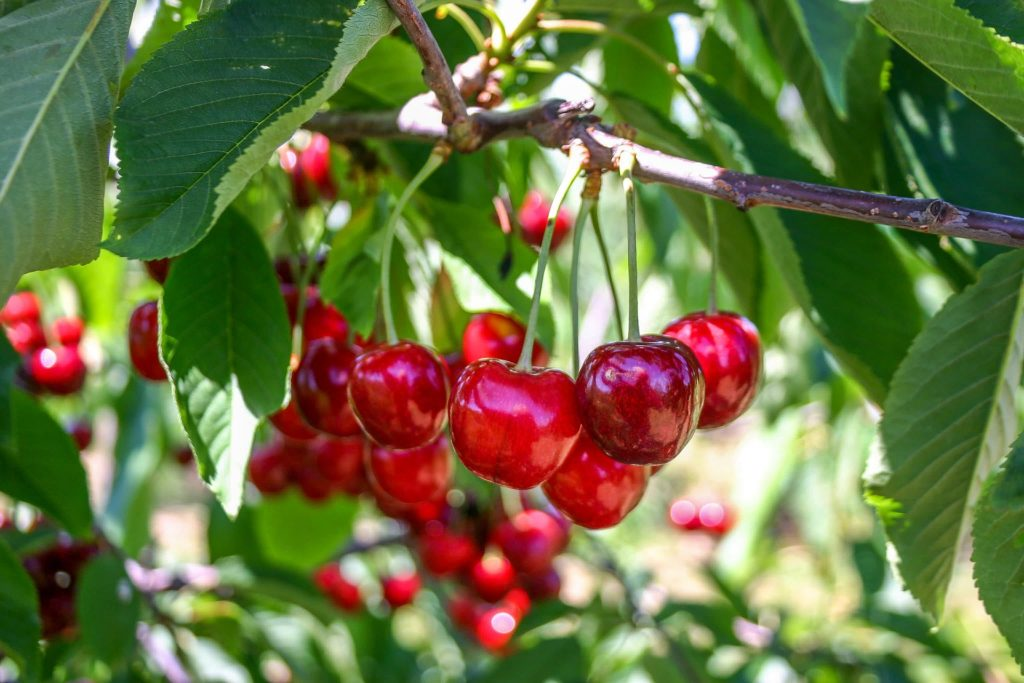 Ripe, red cherries hanging in a bunch from a tree.