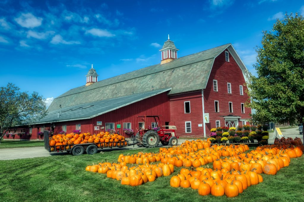 Rows of orange pumpkins in front of a large red barn.
