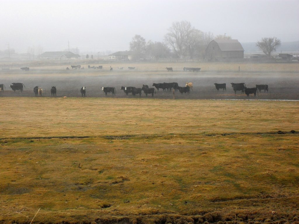 A herd of cattle in a field with a haze of mist.