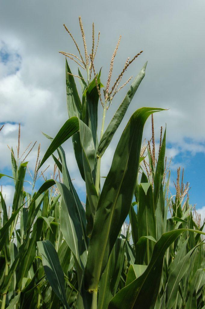A close up photo of a corn stalk.