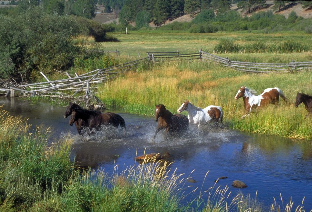 A herd of horses runs through a stream. Split rail fence in the background.