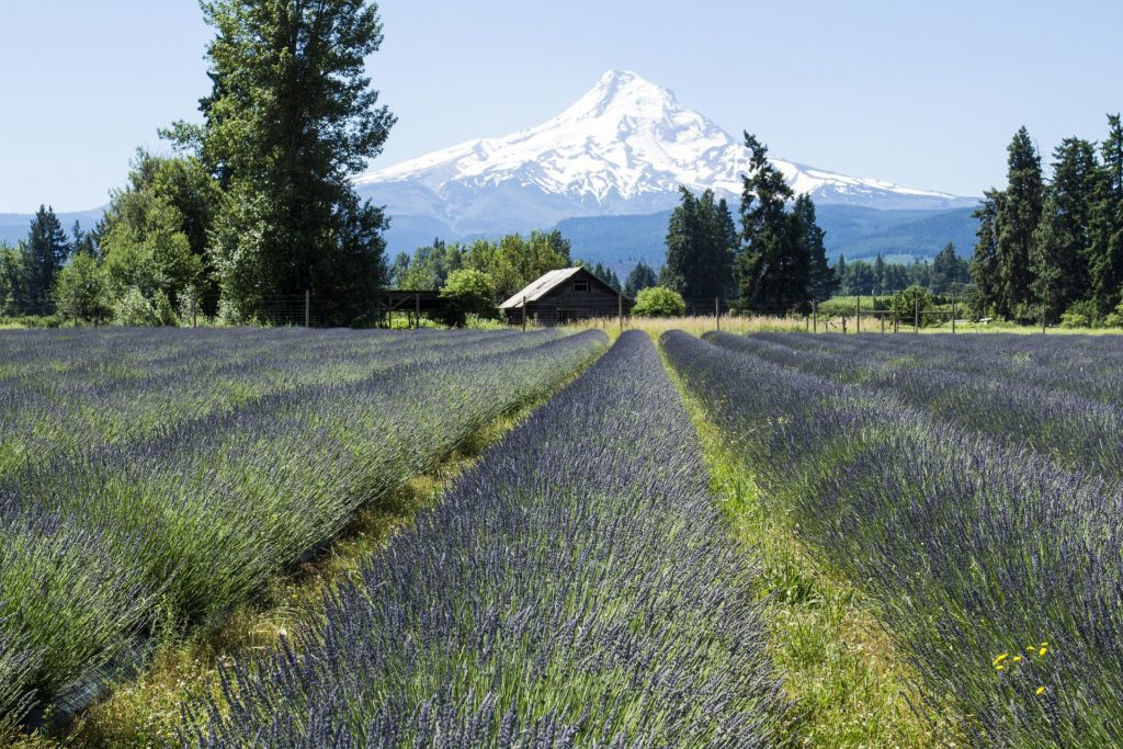 A field of lavender with a snowcapped mountain in the background.