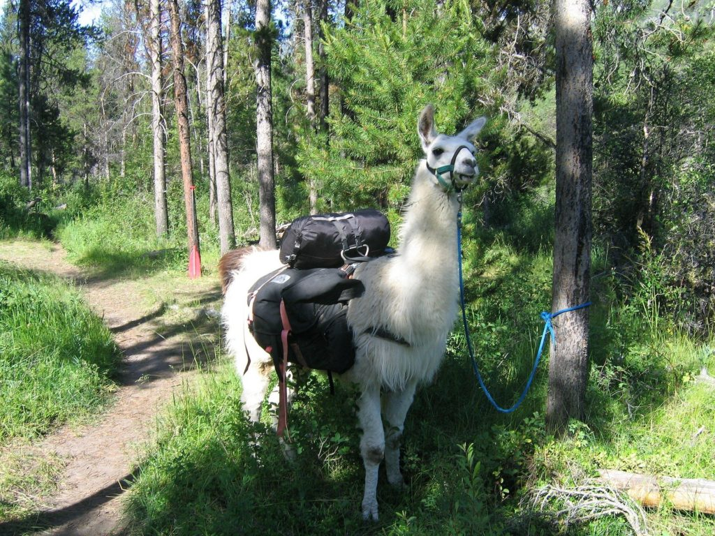A white llama with pack gear on its back. Tied to a tree next to a forest trail.