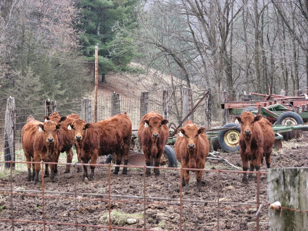 A group of six brown cows facing the camera.