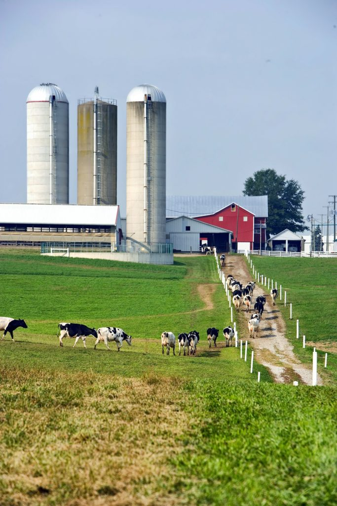 Black and white cows walk up a dirt lane toward a barn.