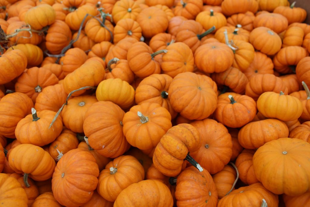 A pile of ripe, orange pumpkins.