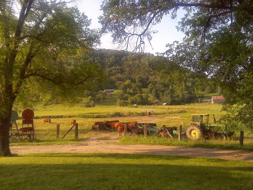 Cattle and an old tractor in a grassy field.