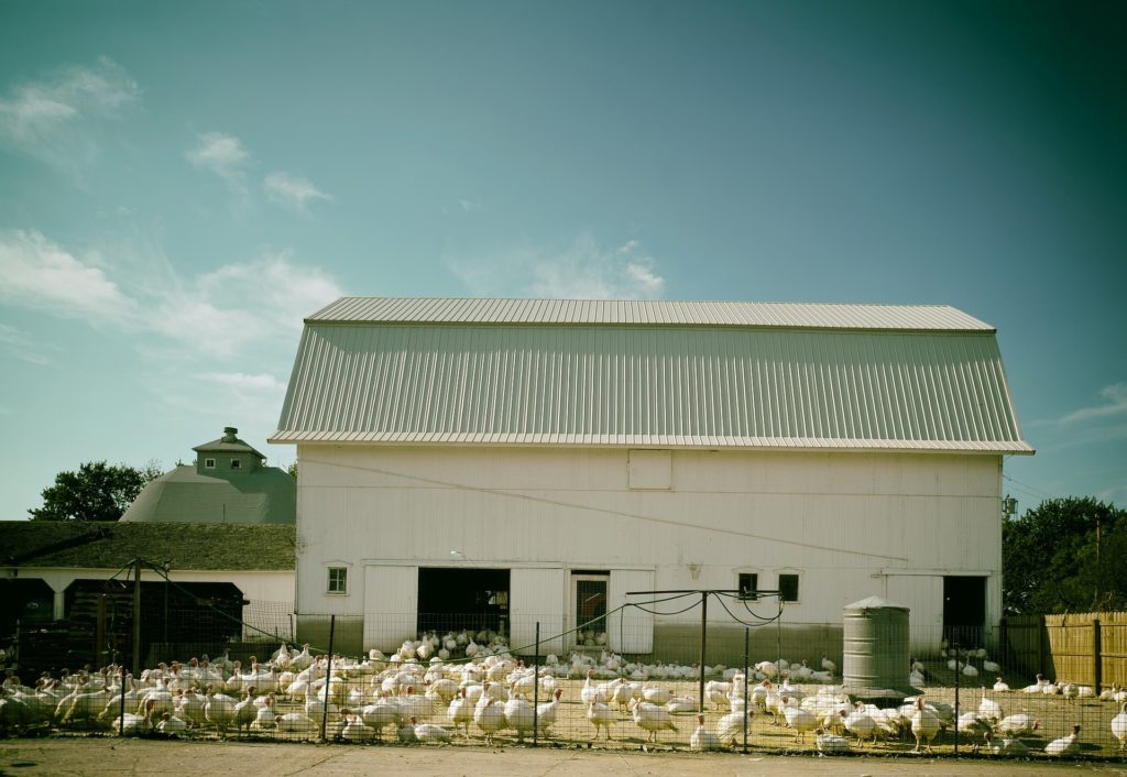 A flock of domestic turkeys behind a fence and in front of a white barn.