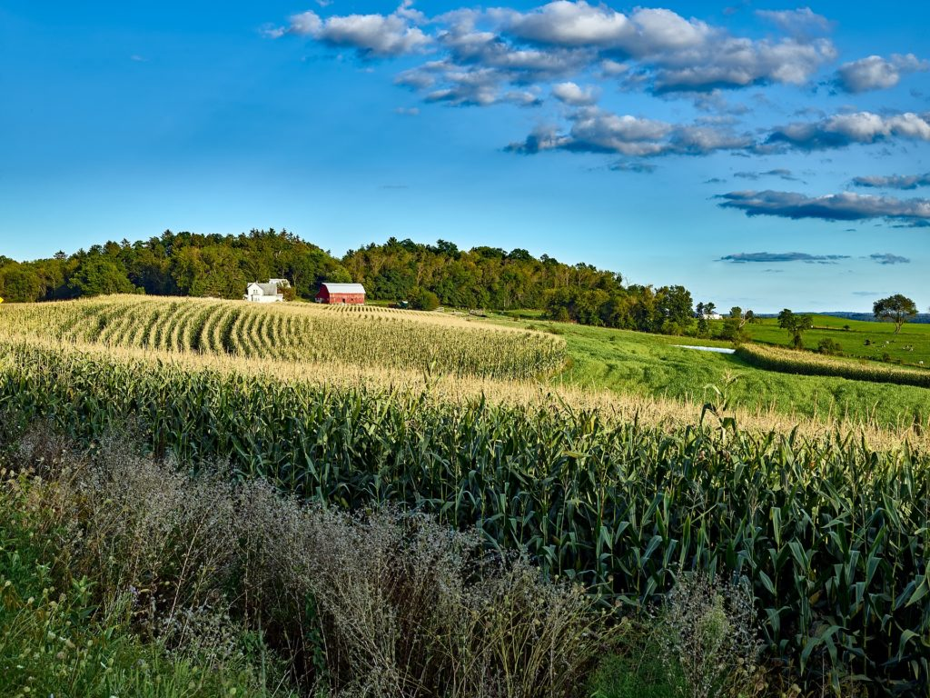 Rows of corn in front of a red barn in the distance.