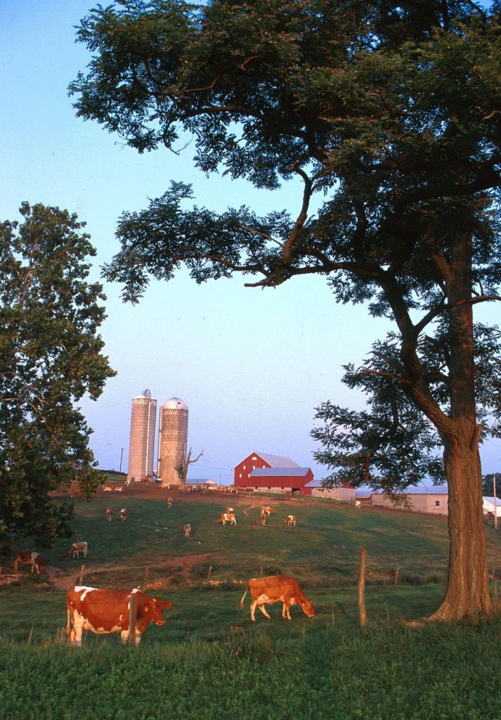 A herd of dairy cows grazing on green pasture near a red barn and grain silos.